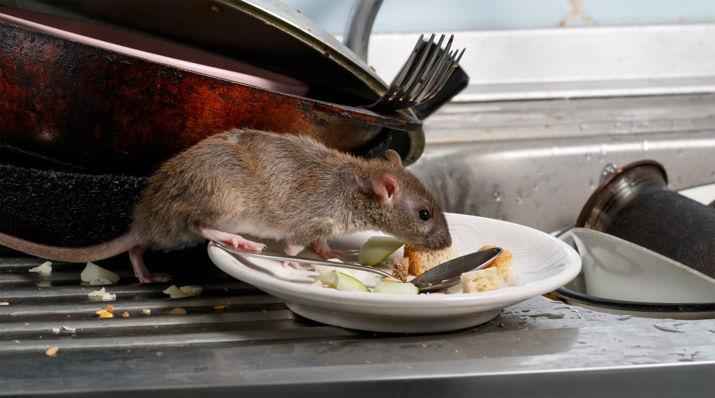 rodent catchers eating food